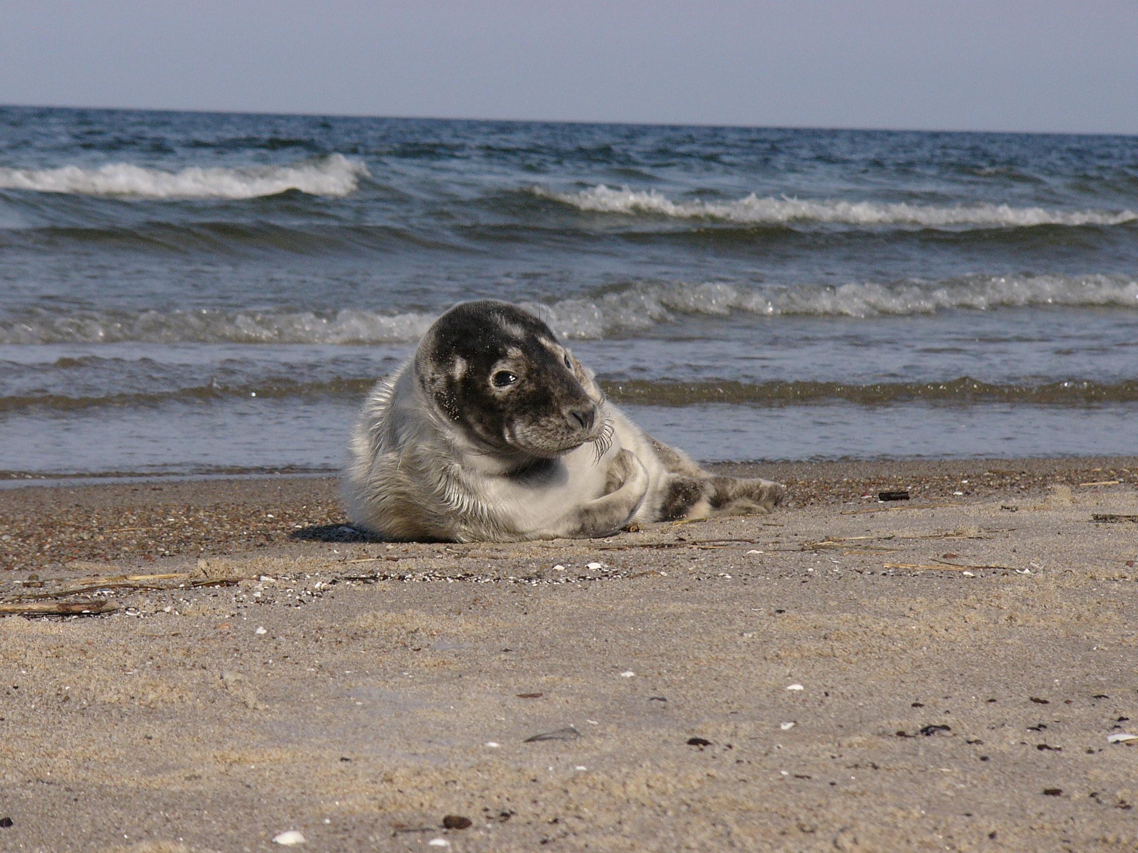 Foki na plaży przy Ujściu Wisły